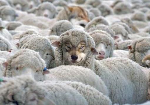 wilk owca