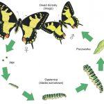 Lekcja biologii – cykl rozwojowy motyla (metamorfoza)