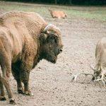 Żubr i jeleń